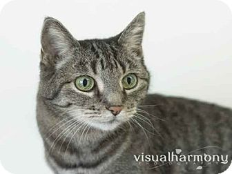 Domestic Shorthair Cat for adoption in Phoenix, Arizona - Jelly