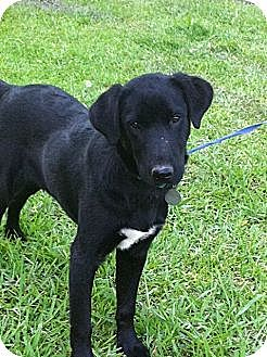 Labrador Retriever Mix Dog for adoption in Baton Rouge, Louisiana - Little Fritter