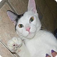 Adopt A Pet :: Shay - Phoenix, AZ