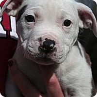 Adopt A Pet :: Manny - Sacramento, CA