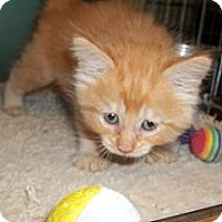 Adopt A Pet :: Medium Haired Orange Kitten - Acme, PA
