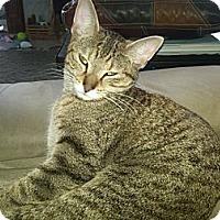 Adopt A Pet :: Talia - Sterling Hgts, MI