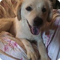 Adopt A Pet :: Sandy-pending adoption - East Hartford, CT
