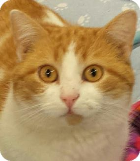Domestic Shorthair Cat for adoption in Colfax, Iowa - Stewart