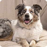 Adopt A Pet :: Patches Aussie - St. Louis, MO