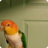 Caique for adoption in Red Oak, Texas - Sweet Pea