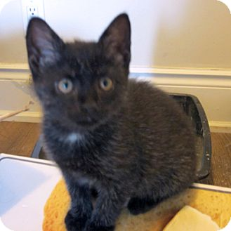 Domestic Mediumhair Kitten for adoption in Mississauga, Ontario, Ontario - Victory