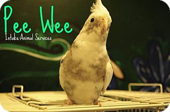 Cockatiel for adoption in Hamilton, Ontario - Pee Wee