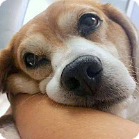 Adopt A Pet :: Sam the Beagle - Fort Lauderdale, FL