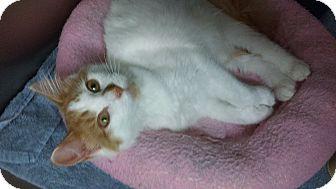 Domestic Mediumhair Kitten for adoption in Whitestone, New York - Twinkie Boy