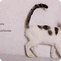 Turkish Van Kitten for adoption in Yucca Valley, California - TOBY