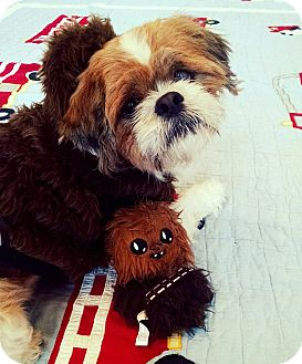 Lhasa Apso Mix Dog for adoption in Seattle, Washington - Amore