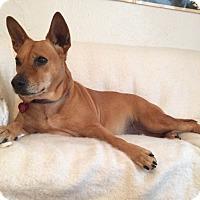 Corgi/Labrador Retriever Mix Dog for adoption in Dallas, Texas - Faith