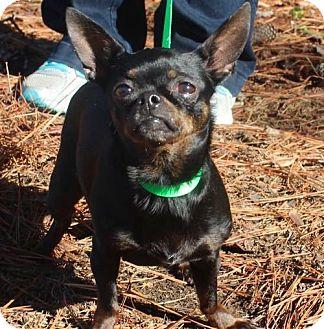 Chihuahua Mix Dog for adoption in Brownsboro, Alabama - Chanel