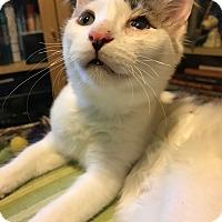 Adopt A Pet :: Yammy AKA Jewel Yam - Chicago, IL