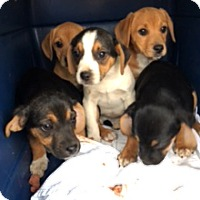 Adopt A Pet :: Beagle Mix Pups - Westfield, NY