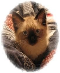 Ragdoll Kitten for adoption in Ennis, Texas - Ezekiel