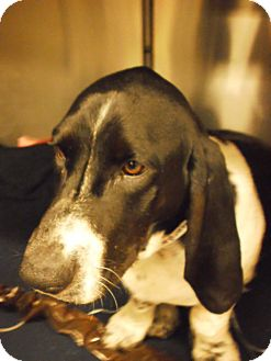 Basset Hound Mix Dog for adoption in Acton, California - Chumlee