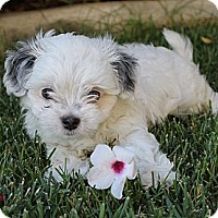 Adopt A Pet :: Peeta - La Habra Heights, CA