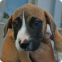Adopt A Pet :: Sadie - white settlment, TX