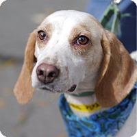 Adopt A Pet :: Belle **Adoption Pending** - Fairfax, VA