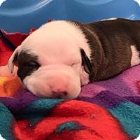 Adopt A Pet :: Noelle (adoption pending) - Belleville, MI