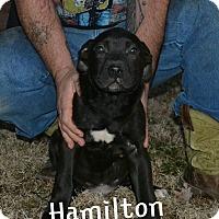 Adopt A Pet :: Hamilton - Broken Arrow, OK
