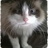 Adopt A Pet :: daisy - Pueblo West, CO
