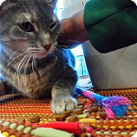Domestic Shorthair Cat for adoption in Breinigsville, Pennsylvania - Kossi