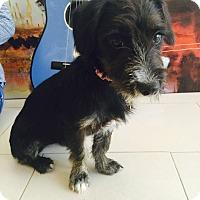 Adopt A Pet :: Barbie - New York, NY