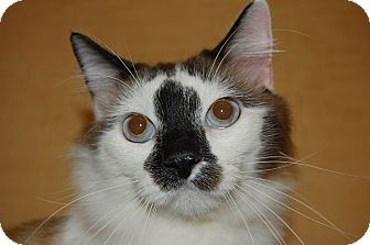 Ragdoll Cat for adoption in Whittier, California - Face