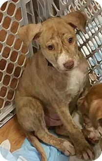 Labrador Retriever/Boxer Mix Puppy for adoption in joliet, Illinois - BUGSY