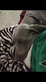 Weimaraner Dog for adoption in Dallas, Texas - GUS - Houston
