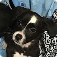 Adopt A Pet :: 3 Male Chi mix pups - Albemarle, NC