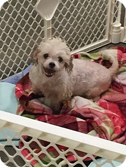 Maltese/Poodle (Miniature) Mix Dog for adoption in Hurst, Texas - Erin