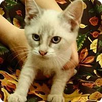 Siamese Kitten for adoption in Denver, Colorado - Jake