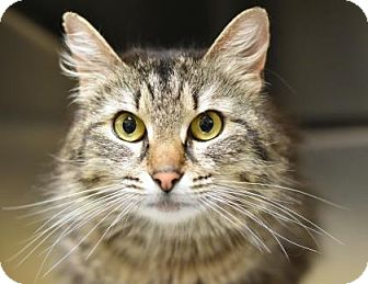 Domestic Mediumhair Cat for adoption in Plymouth Meeting, Pennsylvania - Juniper