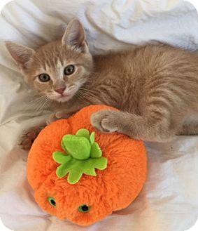 Domestic Shorthair Kitten for adoption in Harrison, New York - Alex