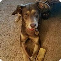 Doberman Pinscher Mix Dog for adoption in Forked River, New Jersey - Jessie
