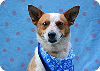 Basenji Mix Dog for adoption in Beacon, New York - Maverick