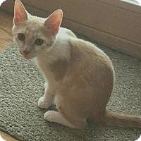 Adopt A Pet :: Marshmallow - Rochester, MI