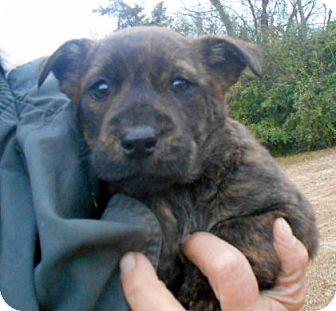 Australian Cattle Dog/Cardigan Welsh Corgi Mix Puppy for adoption in Allentown, New Jersey - Portia