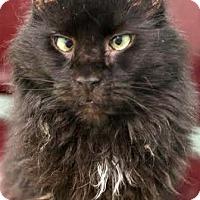 Adopt A Pet :: Blevin - Montclair, NJ