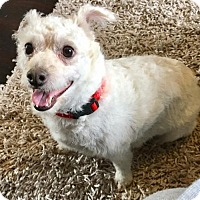 Adopt A Pet :: Babette - Dallas, TX