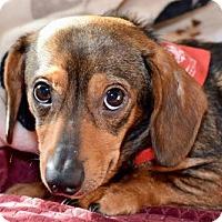 Adopt A Pet :: Dillon - Pearland, TX