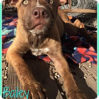 Adopt A Pet :: Bailey - Elburn, IL