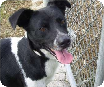 Collie/Pointer Mix Dog for adoption in Key Biscayne, Florida - Sparky