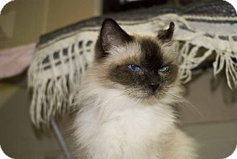 Ragdoll Cat for adoption in New Port Richey, Florida - Stephanie