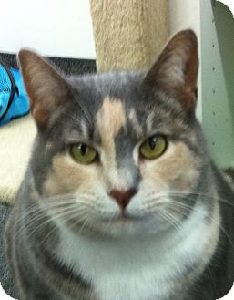 Calico Cat for adoption in Jenkintown, Pennsylvania - Angelina