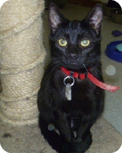 Domestic Shorthair Cat for adoption in Hamburg, New York - Jackson